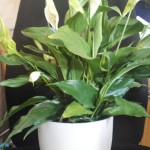 Deskbowl with spathiphyllum