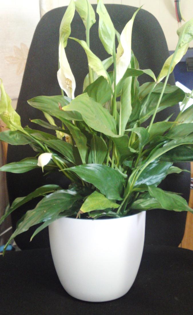 Deskbowl with spathiphyllum